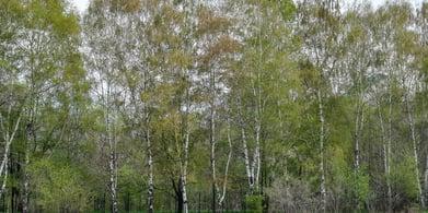Birch_1075643561-blog